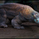 The carnivorous Komodo Dragon