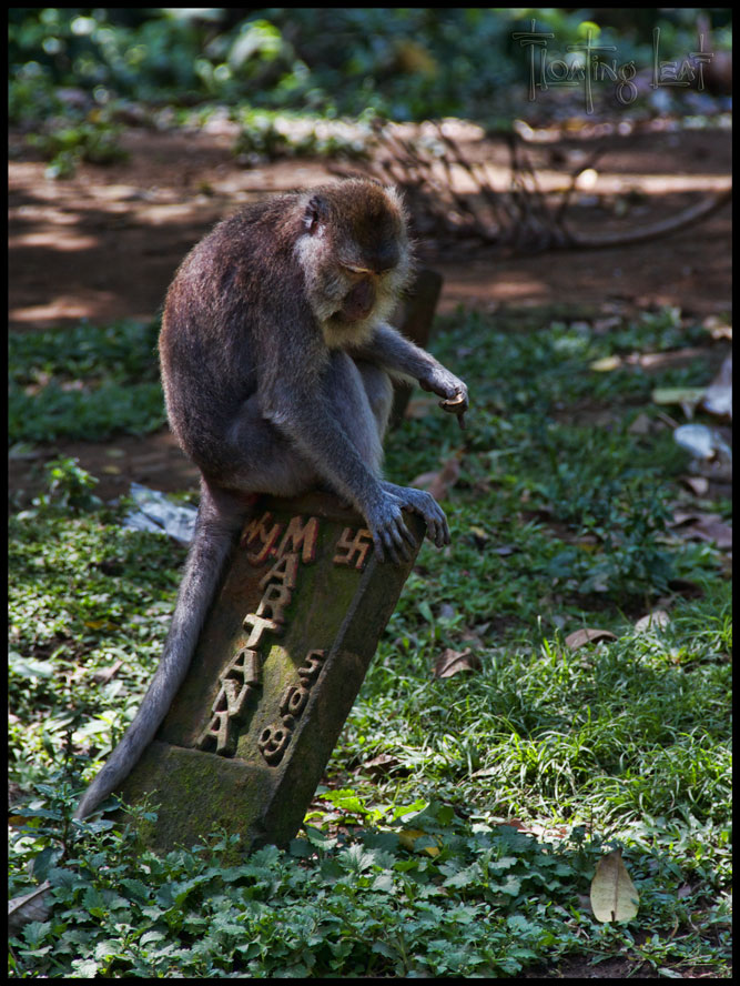 Bali-monkey-comtemplation-yoga-cemetary