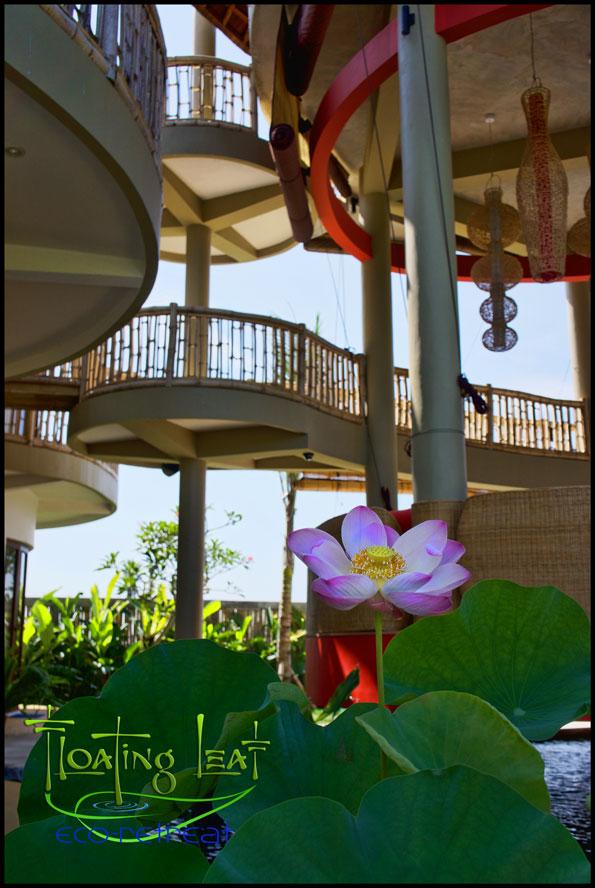 lotus flower blooms in the koi pond