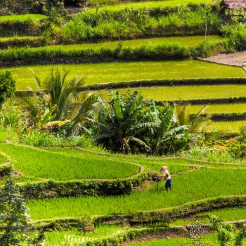 THE FABLED RICE TERRACES OF BALI