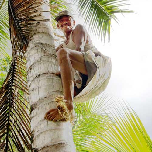 Harvesting healthy coconuts